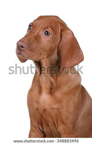 Vizsla puppy on a white background, portrait - stock photo