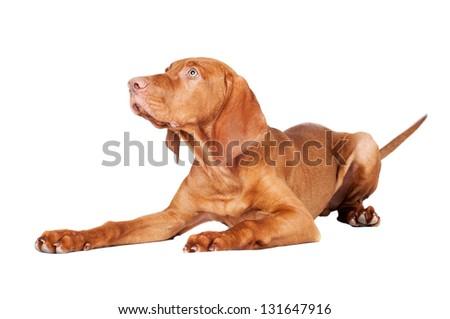 vizsla puppy portrait - stock photo