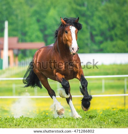 Vladimir Heavy Draft horse playing on the meadow
