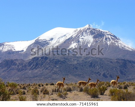 Volcano and Vicunas on Andes Altiplano - stock photo