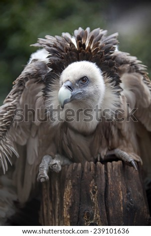 Vulture - stock photo