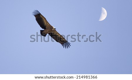 Vulture and moon - stock photo