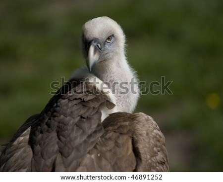 Vulture (Griffin Vulture) looking over shoulder - stock photo