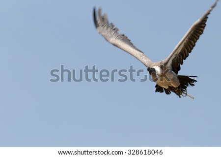 Vulture in flight against a blue sky