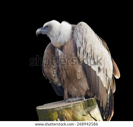 Vulture isolated on black close up - stock photo