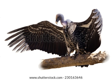 Vulture Isolated on white - stock photo