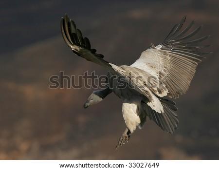 vulture landing - stock photo