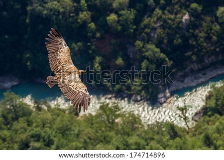 Vulture on the river - stock photo