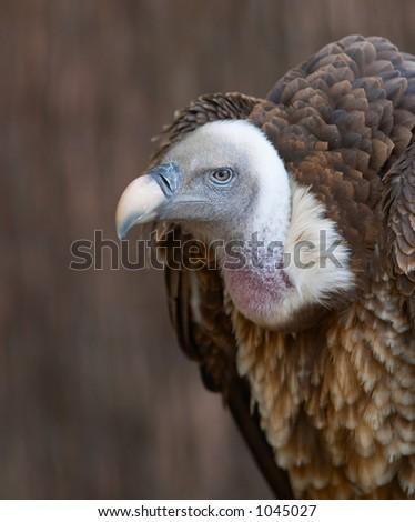 Vulture portrait - stock photo