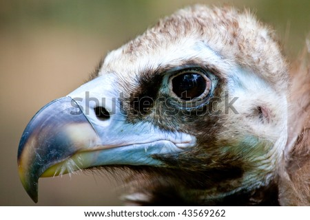 Vulture seeking - stock photo