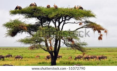 Vulture tree - stock photo