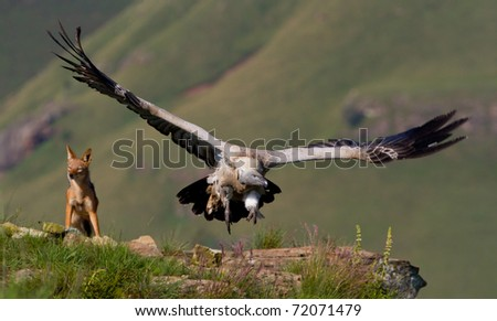 vultures and black backed jackal - stock photo