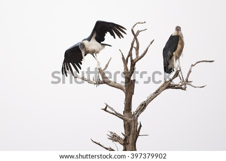 Vultures in Africa tree fly away