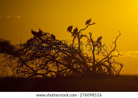 Vultures on dead tree silhouette, South Africa - stock photo