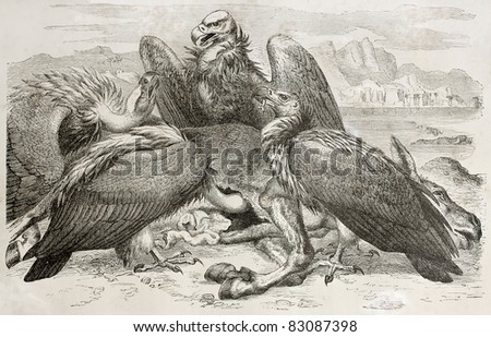 Vultures scavenging old illustration (Aegypius monachus). Created by Kretschmer and Jahrmargt, published on Merveilles de la Nature, Bailliere et fils, Paris, 1878