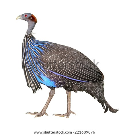 Vulturine Guineafowl (Acryllium vulturinum) isolated on white background, selective focus. - stock photo