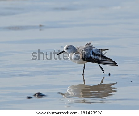 Wader or shorebird Sanderling stretching on beach - stock photo