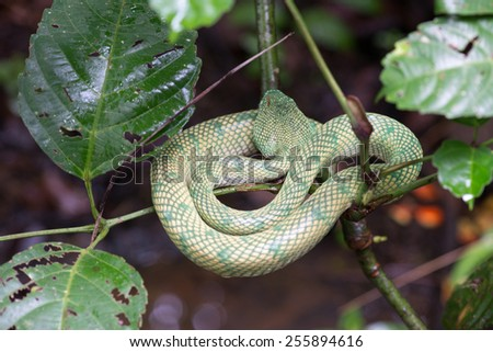 Waglers green pit viper snake on a tree in Borneo, Malaysia - stock photo