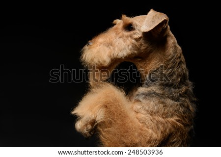 Waiting for a delicious treat. Side view portrait of black brown Airedale Terrier dog standing on hind paws isolated on black background - stock photo