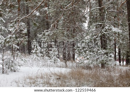 walk in winter forest after a snowfall
