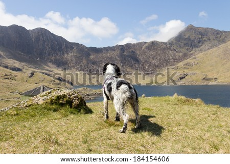 walk with a view-Spaniel dog enjoys the views over Snowdonia Wales whilst out being exercised on a summers day - stock photo