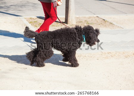 walking a poodle in the city - stock photo