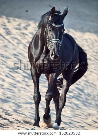 Walking beautiful black stallion in the desert - stock photo