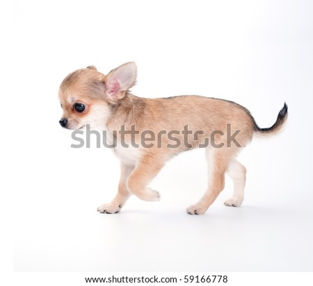 walking chihuahua puppy on white