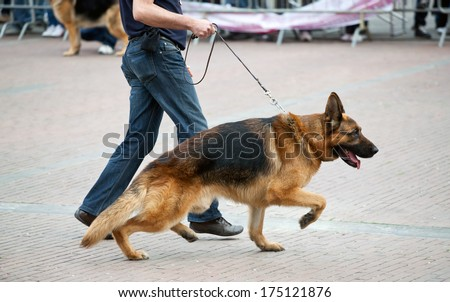Walking dog with german shepherd with his master - stock photo