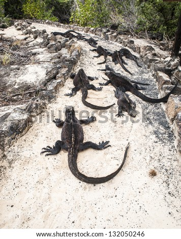 Walking Galapagos Marine Iguanas. Amblyrhynchus cristatus - is an iguana located only on the Galapagos, unique among modern lizards, to live and forage in the sea, making it a marine reptile. - stock photo