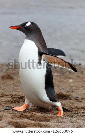 Walking Gentoo penguin, Cuverville Island, west coast of Antarctic Peninsula - stock photo