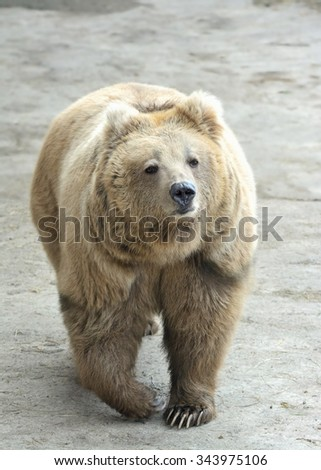 Walking Himalayan brown bear (Ursus arctos isabellinus) sometimes confused or mistaken with Yeti