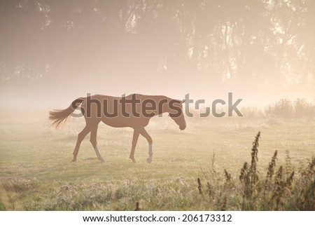 walking horse in misty gold sunbeams - stock photo