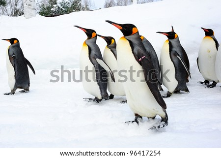 Walking king penguin - stock photo