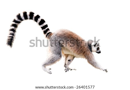 walking lemur isolated on white. Year of Red Monkey