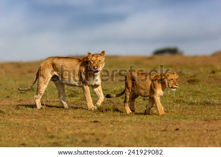 Walking Lion mother with cub from  Double Cross in Masai Mara, Kenya