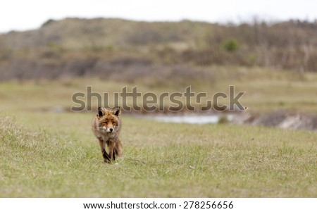 Walking red fox in the dunes, Amsterdamse waterleiding duinen, the Netherlands - stock photo