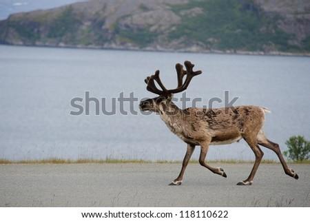 Walking reeindeer against natural landscape, Norway - stock photo