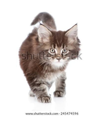 walking small maine coon cat. isolated on white background - stock photo