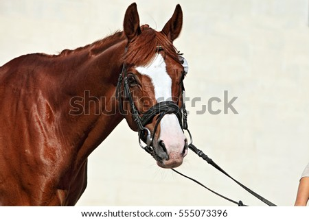 Walking sports horse portrait