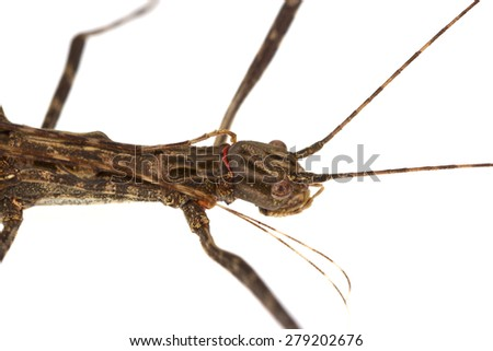 Walking stick Insect male and female isolate on white background ,Thailand