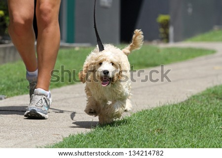 Walking the Dog on lead - stock photo