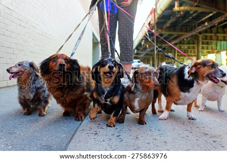 Walking the pack/array of dogs, most dachshunds, being walked by single person in the background on city sidewalk - stock photo