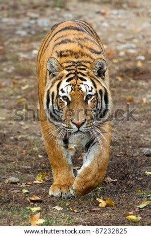 walking tiger - stock photo