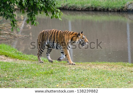 Walking tiger near pool. Mauritius, Casela park - stock photo