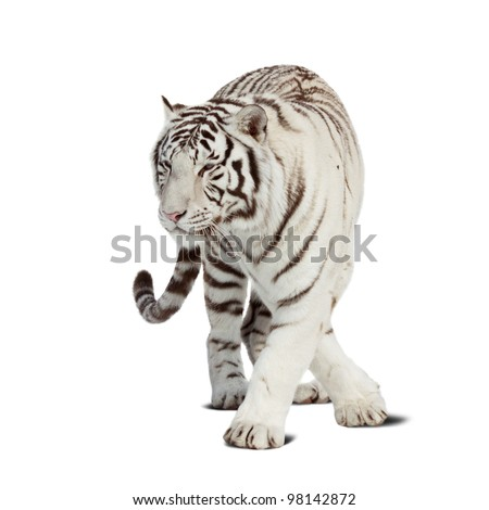 Walking white tiger. Isolated  over white background with shade - stock photo