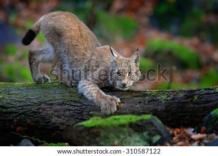 Walking wild cat Eurasian Lynx in green forest  - stock photo