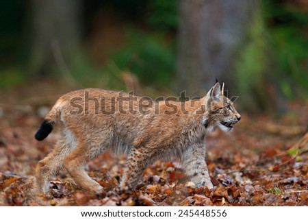 Walking wild cat Eurasian Lynx in orange autumn leaves, forest in background - stock photo