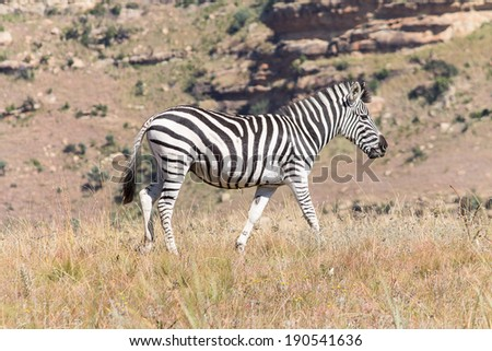 Walking wild Zebra