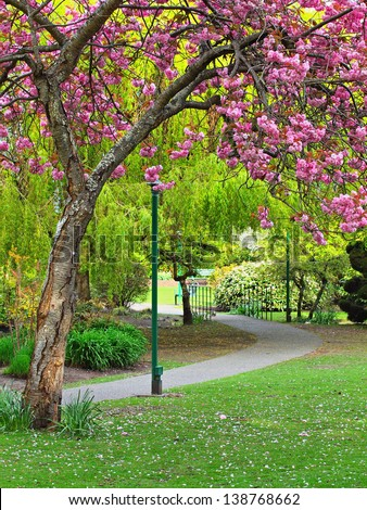 Walkway in the park under the blooming cherry tree